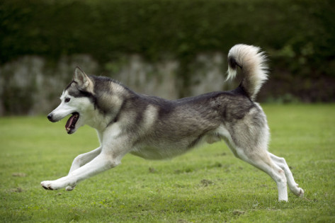 siberian-husky-running-through-garden